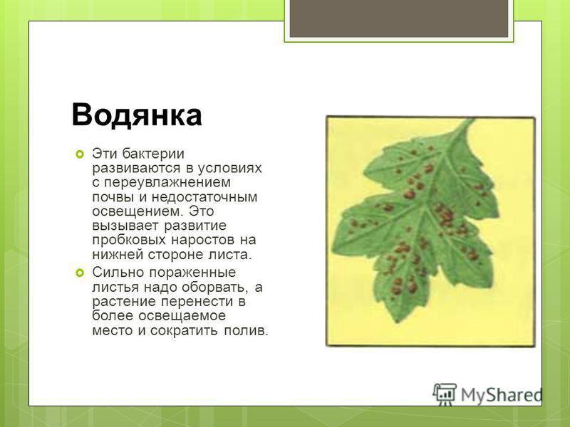Водянка Эти бактерии развиваются в условиях с переувлажнением почвы и недостаточным освещением. Это вызывает развитие пробковых наростов на нижней стороне листа. Сильно пораженные листья надо оборвать, а растение перенести в более освещаемое место и