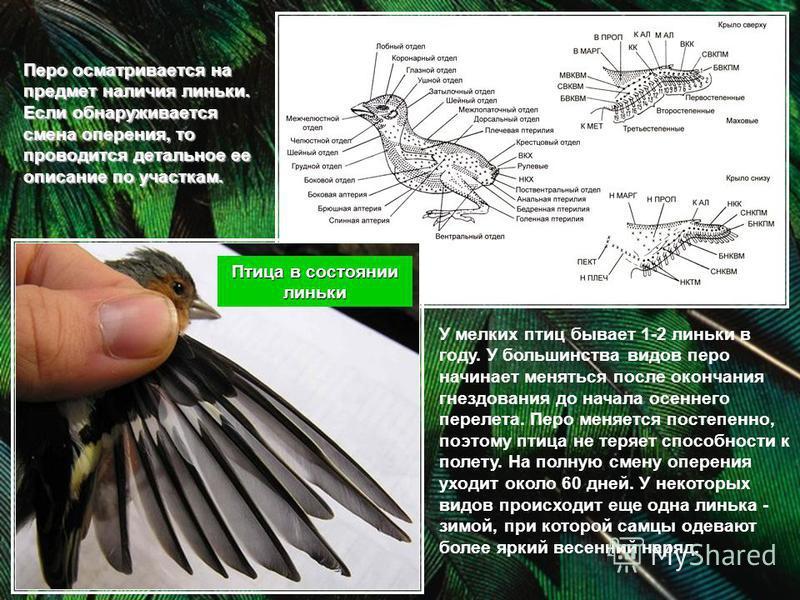 Перо осматривается на предмет наличия линьки. Если обнаруживается смена оперения, то проводится детальное ее описание по участкам. Птица в состоянии линьки У мелких птиц бывает 1-2 линьки в году. У большинства видов перо начинает меняться после оконч