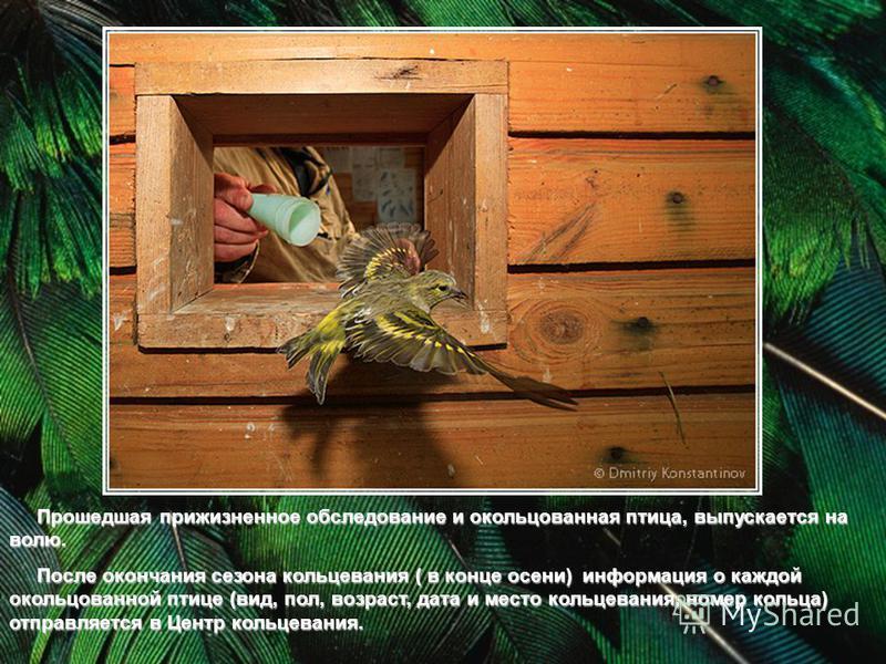 Прошедшая прижизненное обследование и окольцованная птица, выпускается на волю. Прошедшая прижизненное обследование и окольцованная птица, выпускается на волю. После окончания сезона кольцевания ( в конце осени) информация о каждой окольцованной птиц