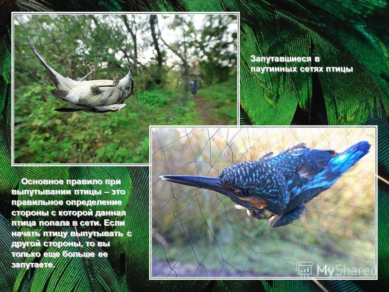 Запутавшиеся в паутинных сетях птицы Основное правило при выпутывании птицы – это правильное определение стороны с которой данная птица попала в сети. Если начать птицу выпутывать с другой стороны, то вы только еще больше ее запутаете. Основное прави