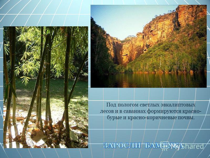 Под пологом светлых эвкалиптовых лесов и в саваннах формируются красно- бурые и красно-коричневые почвы.