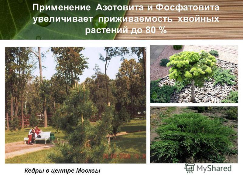 Кедры в центре Москвы Применение Азотовита и Фосфатовита увеличивает приживаемость хвойных растений до 80 %