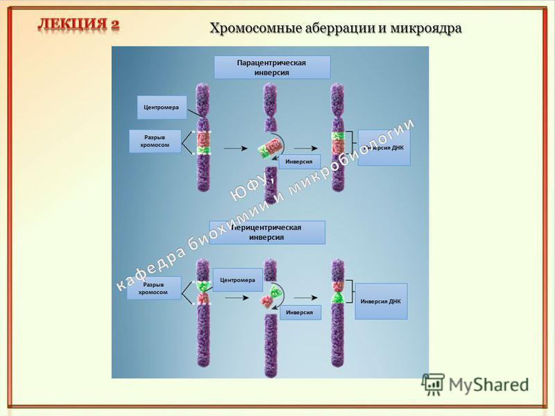 Хромосомные аберрации и микроядра Парацентрическая инверсия Перицентрическая инверсия Инверсия Разрыв хромосом Центромера Инверсия Инверсия ДНК
