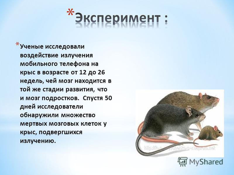 * Ученые исследовали воздействие излучения мобильного телефона на крыс в возрасте от 12 до 26 недель, чей мозг находится в той же стадии развития, что и мозг подростков. Спустя 50 дней исследователи обнаружили множество мертвых мозговых клеток у крыс