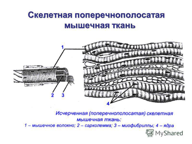 Скелетная поперечнополосатая мышечная ткань