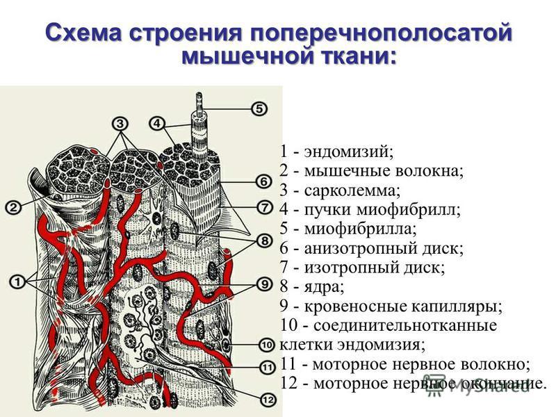 Схема строения поперечнополосатой мышечной ткани: 1 - эндомизий; 2 - мышечные волокна; 3 - сарколемма; 4 - пучки миофибрилл; 5 - миофибрилла; 6 - анизотропный диск; 7 - изотропный диск; 8 - ядра; 9 - кровеносные капилляры; 10 - соединительнотканные к