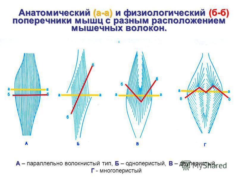 Анатомический (а-а) и физиологический (б-б) поперечники мышц с разным расположением мышечных волокон. АБ В А – параллельно волокнистый тип, Б – одноперистый, В – двуперистый, Г Г - многоперистый