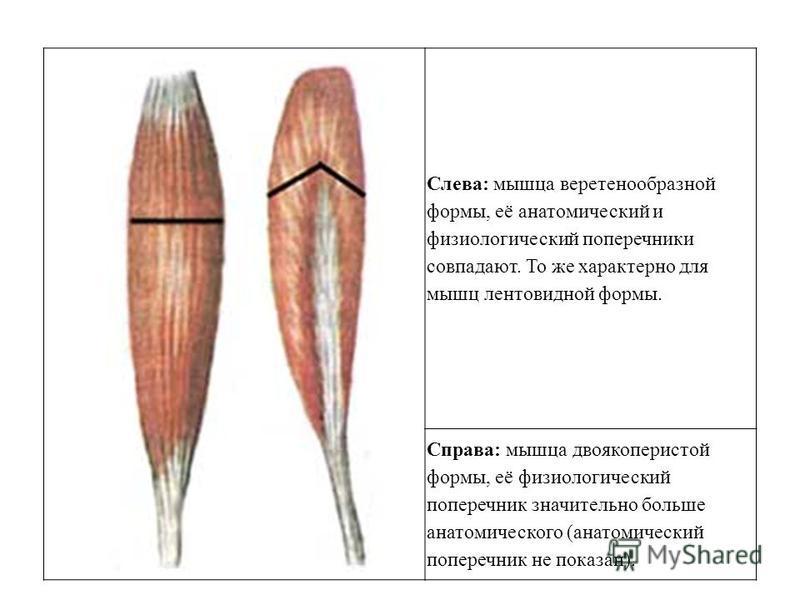 Слева: мышца веретенообразной формы, её анатомический и физиологический поперечники совпадают. То же характерно для мышц лентовидной формы. Справа: мышца двоякоперистой формы, её физиологический поперечник значительно больше анатомического (анатомиче