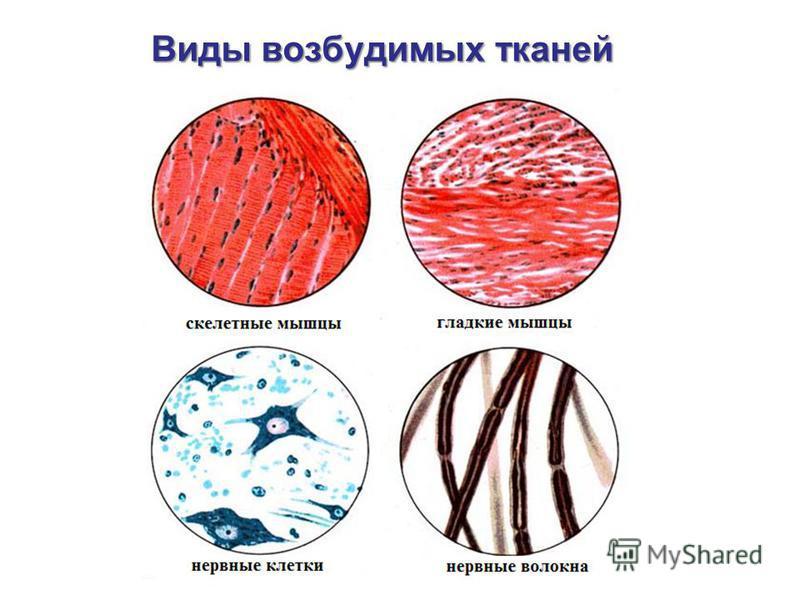 Виды возбудимых тканей