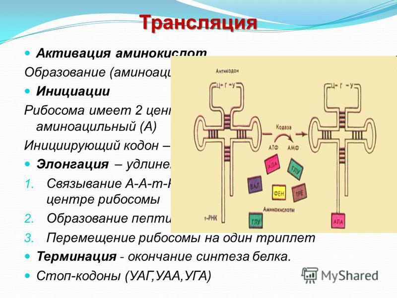 Трансляция Активация аминокислот Образование (аминоацил- т РНК) Инициации Рибосома имеет 2 центра: пептидильный (П) и аминоацильный (А) Инициирующий кодон – АУГ (AUG) Элонгация – удлинение пептидной цепи 1. Связывание А-А-т-РНК с кодоном и-РНК в А- ц