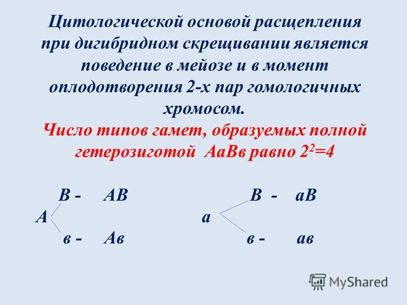 Цитологической основой расщепления при дигибридном скрещивании является поведение в мейозе и в момент оплодотворения 2-х пар гомологичных хромосом. Число типов гамет, образуемых полной гетерозиготой Аа Вв равно 2 2 =4 В - АВ В - аВ А а в - Ав в - ав