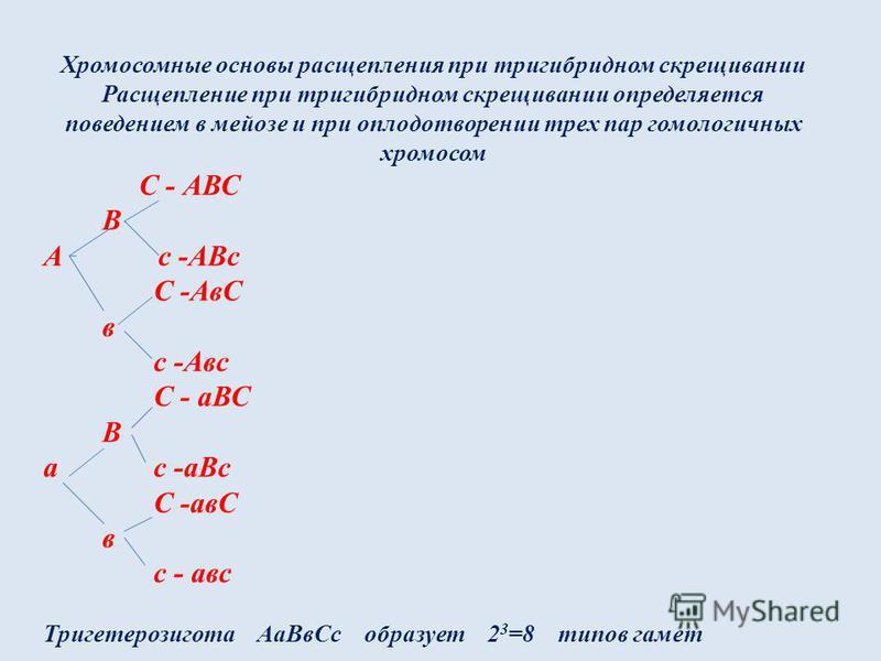 Хромосомные основы расщепления при тригибридном скрещивании Расщепление при тригибридном скрещивании определяется поведением в мейозе и при оплодотворении трех пар гомологичных хромосом С - АВС В А с -АВс С -АвС в с -Авс С - аВС В а с -а Вс С -авС в