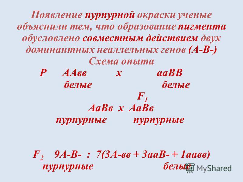 Появление пурпурной окраски ученые объяснили тем, что образование пигмента обусловлено совместным действием двух доминантных неаллельных генов (А-В-) Схема опыта Р ААвв х аВВ белые белые F 1 Аа Вв х Аа Вв пурпурные пурпурные F 2 9А-В- : 7(3А-вв + 3 а