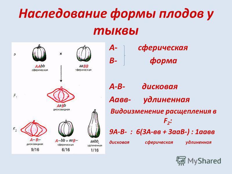 Наследование формы плодов у тыквы А- сферическая В- форма А-В- дисковая Аавв- удлиненная Видоизменение расщепления в F 2 : 9А-В- : 6(3А-вв + 3 аВ-) : 1 авв дисковая сферическая удлиненная