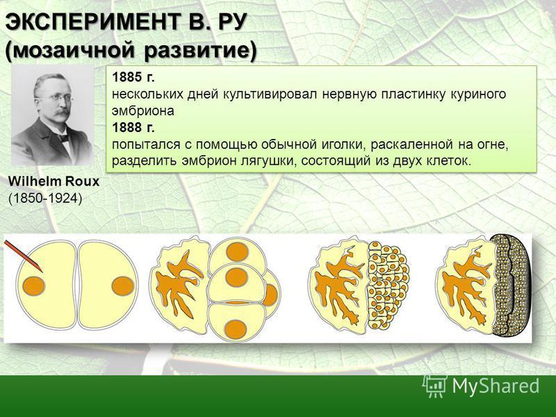 ЭКСПЕРИМЕНТ В. РУ (мозаичной развитие) 1885 г. нескольких дней культивировал нервную пластинку куриного эмбриона 1888 г. попытался с помощью обычной иголки, раскаленной на огне, разделить эмбрион лягушки, состоящий из двух клеток. 1885 г. нескольких