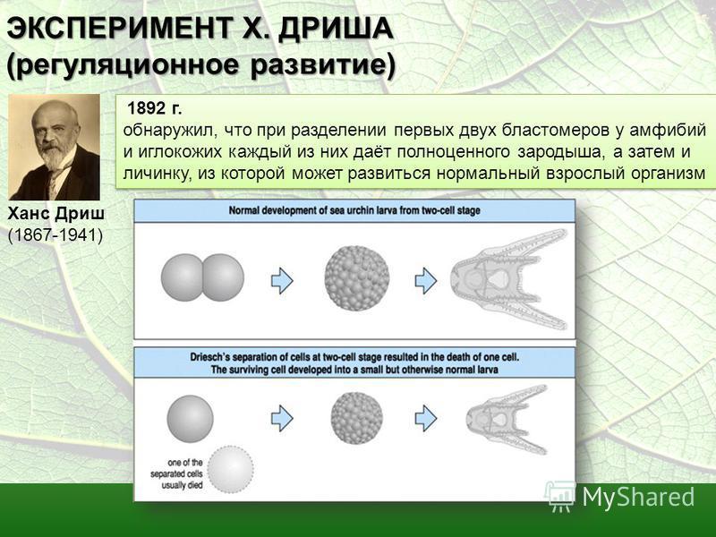 ЭКСПЕРИМЕНТ Х. ДРИША (регуляционное развитие) Ханс Дриш (1867-1941) 1892 г. обнаружил, что при разделении первых двух бластомеров у амфибий и иглокожих каждый из них даёт полноценного зародыша, а затем и личинку, из которой может развиться нормальный