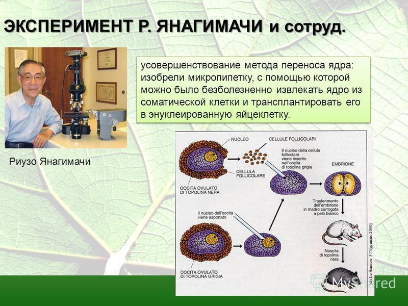 ЭКСПЕРИМЕНТ Р. ЯНАГИМАЧИ и сотрут. усовершенствование метода переноса ядра: изобрели микропипетку, с помощью которой можно было безболезненно извлекать ядро из соматической клетки и трансплантировать его в энуклеированную яйцеклетку. Риузо Янагимачи