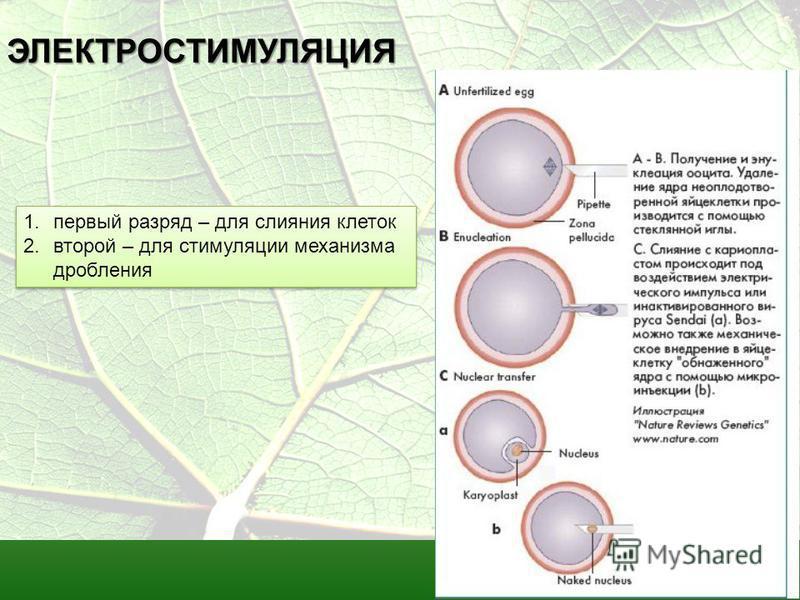 ЭЛЕКТРОСТИМУЛЯЦИЯ 1. первый разряд – для слияния клеток 2. второй – для стимуляции механизма дробления 1. первый разряд – для слияния клеток 2. второй – для стимуляции механизма дробления