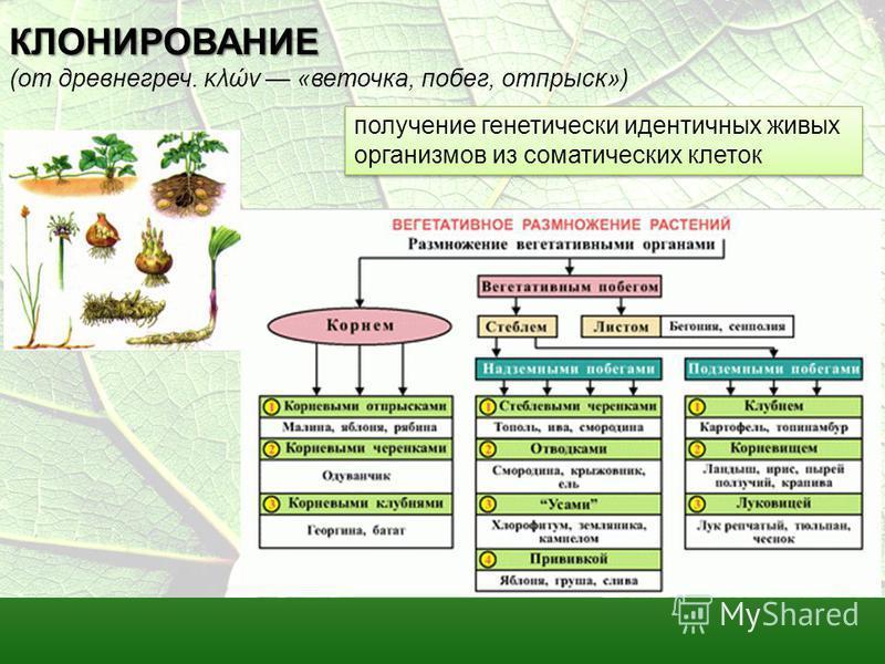 КЛОНИРОВАНИЕ КЛОНИРОВАНИЕ (от древнегреч. κλών «веточка, побег, отпрыск») получение генетически идентичных живых организмов из соматических клеток