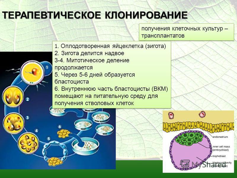 ТЕРАПЕВТИЧЕСКОЕ КЛОНИРОВАНИЕ получения клеточных культур – трансплантатов 1. Оплодотворенная яйцеклетка (зигота) 2. Зигота делится надвое 3-4. Митотическое деление продолжается 5. Через 5-6 дней образуется бластоциста 6. Внутреннюю часть бластоцисты