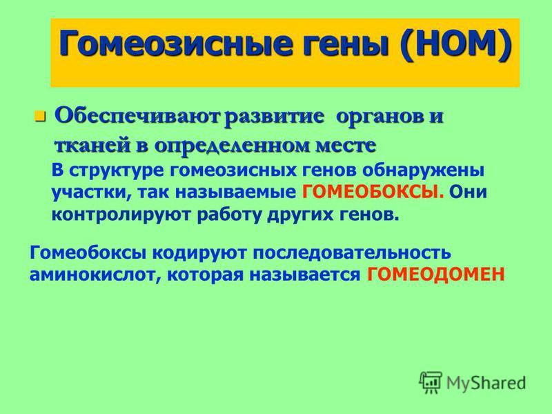 Гомеозисные гены (HOM) Обеспечивают развитие органов и тканей в определенном месте Обеспечивают развитие органов и тканей в определенном месте В структуре гомеозисных генов обнаружены участки, так называемые ГОМЕОБОКСЫ. Они контролируют работу других