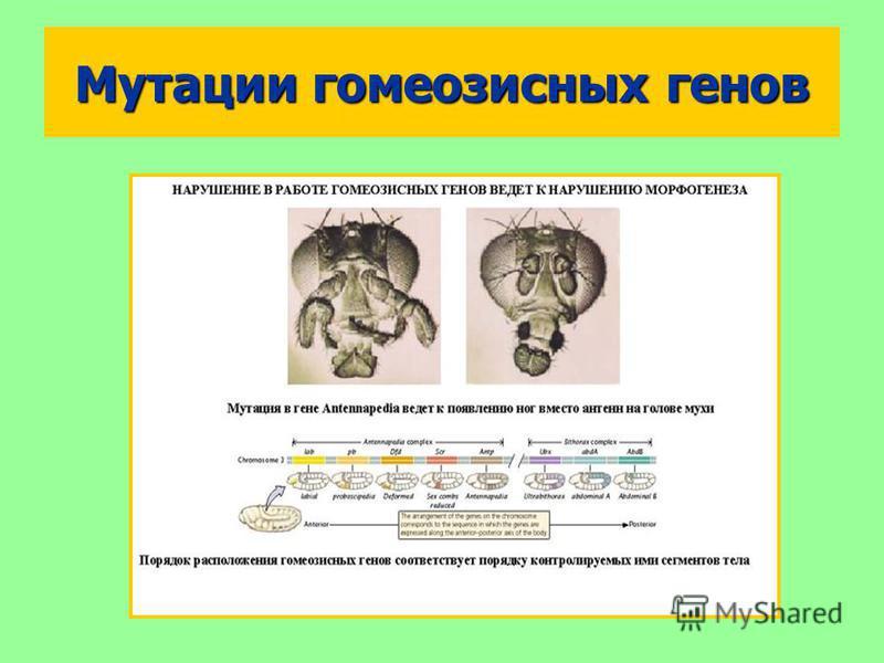 Мутации гомеозисных генов