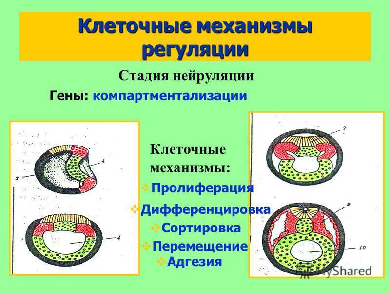 Клеточные механизмы регуляции Сортировка Адгезия Стадия нейруляции Гены: компартментализации Пролиферация Дифференцировка Перемещение Клеточные механизмы:
