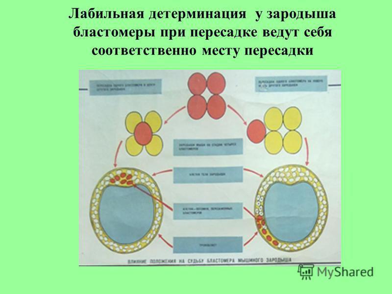 Лабильная детерминация у зародыша бластомеры при пересадке ведут себя соответственно месту пересадки