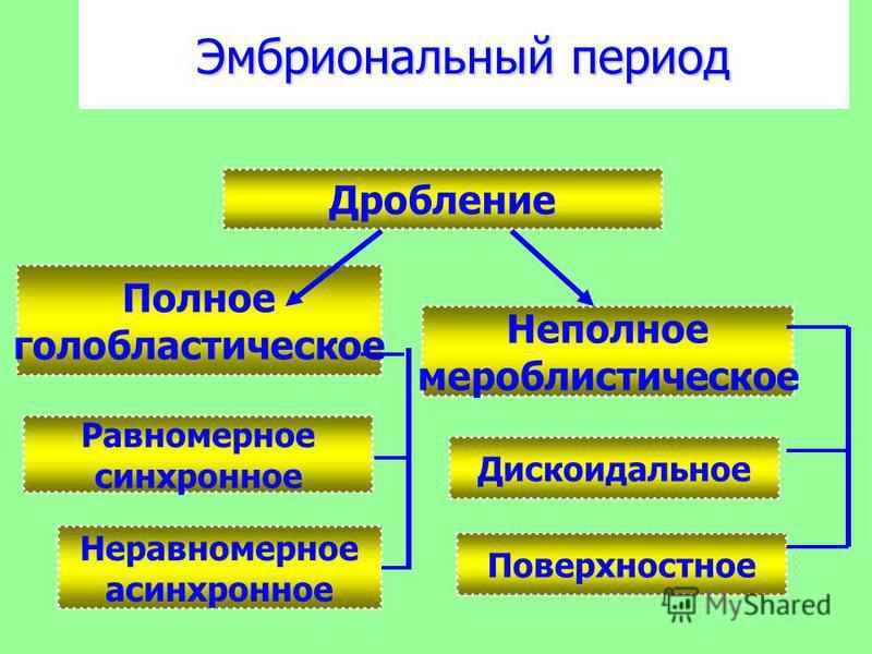 Эмбриональный период Полное голобластическое Неполное меробластическое Дробление Равномерное синхронное Неравномерное асинхронное Поверхностное Дискоидальное