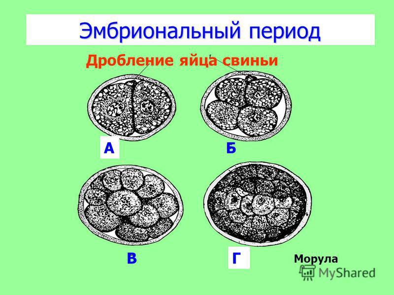 Эмбриональный период АБ ВГ Дробление яйца свиньи Морула