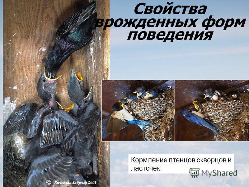 Кормление птенцов скворцов и ласточек. Свойства врожденных форм поведения