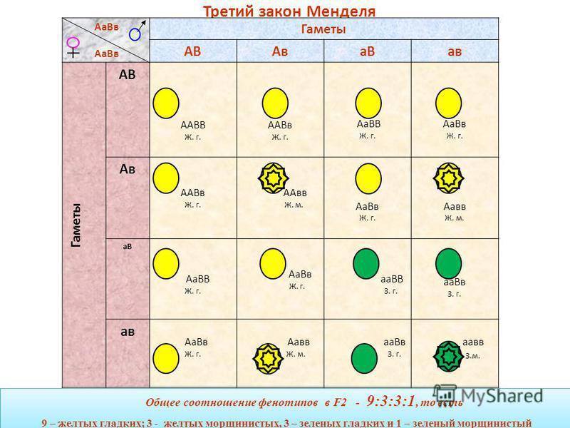 Третий закон Менделя При скрещивании гетерозиготных особей, отличающихся друг от друга по двум (и более) парам альтернативных признаков, расщепление по каждой паре признаков идет независимо и от других пар признаков в соотношении 3:1 при полном домин