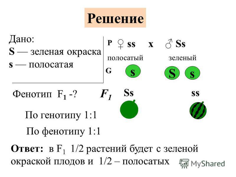 У арбуза зеленая окраска плодов доминирует над полосатой. Определите окраску плодов арбузов, полученных от скрещивания растений, имеющих генотипы Аа и а. Ааа Задача 4