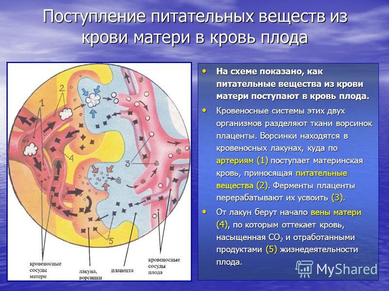 Поступление питательных веществ из крови матери в кровь плода На схеме показано, как питательные вещества из крови матери поступают в кровь плода. На схеме показано, как питательные вещества из крови матери поступают в кровь плода. Кровеносные систем