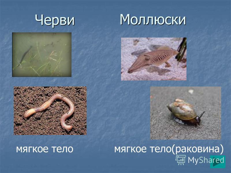 Черви Моллюски мягкое тело мягкое тело(раковина)