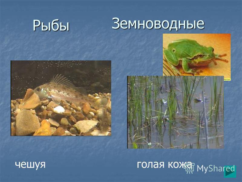 Рыбы Земноводные чешуя голая кожа