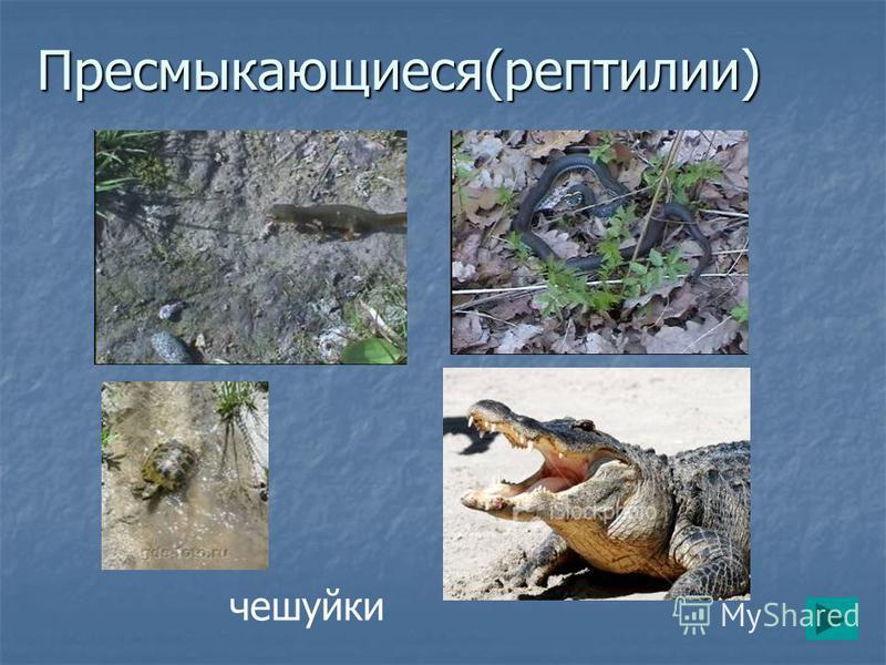 Пресмыкающиеся(рептилии) чешуйки