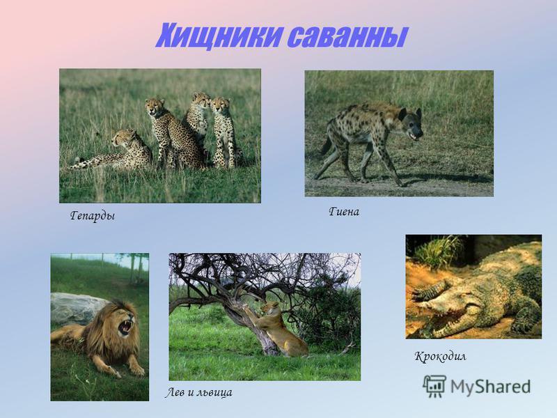 Хищники саванны Лев и львица Гепарды Гиена Крокодил