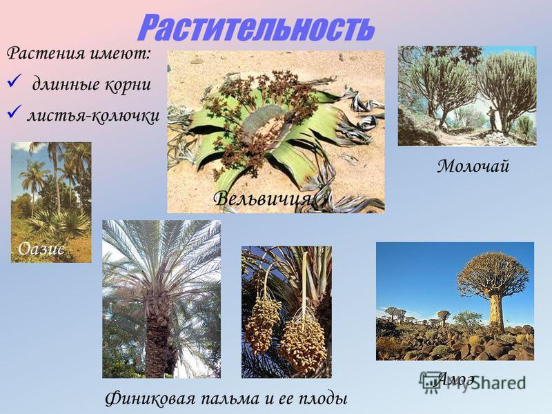 Растительность Растения имеют: длинные корни листья-колючки Финиковая пальма и ее плоды Алоэ Молочай Оазис Вельвичия