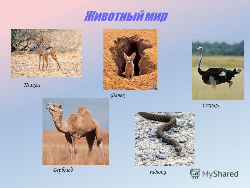 Животный мир Шакал Верблюд Фенек Страус гадюка