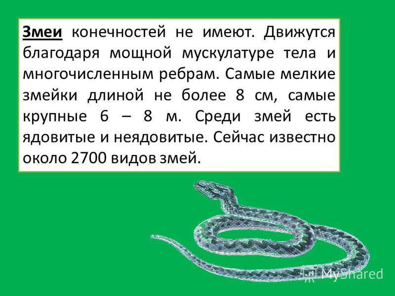 Змеи конечностей не имеют. Движутся благодаря мощной мускулатуре тела и многочисленным ребрам. Самые мелкие змейки длиной не более 8 см, самые крупные 6 – 8 м. Среди змей есть ядовитые и неядовитые. Сейчас известно около 2700 видов змей.