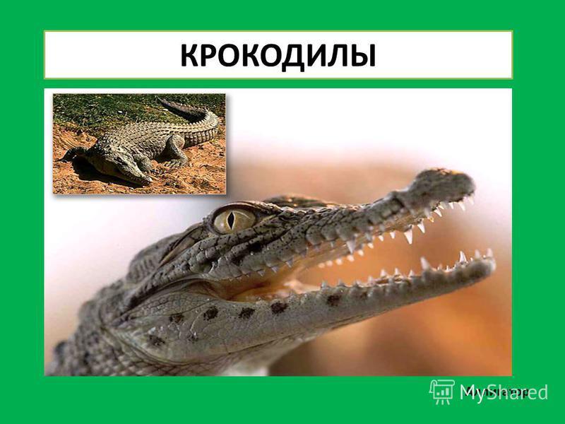 КРОКОДИЛЫ Аллигатор