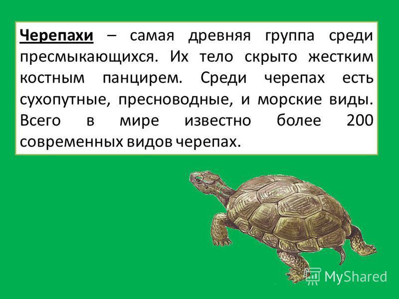 Черепахи – самая древняя группа среди пресмыкающихся. Их тело скрыто жестким костным панцирем. Среди черепах есть сухопутные, пресноводные, и морские виды. Всего в мире известно более 200 современных видов черепах.