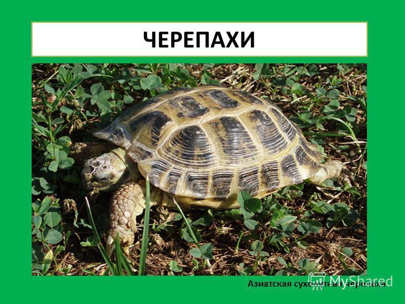 Азиатская сухопутная черепаха ЧЕРЕПАХИ