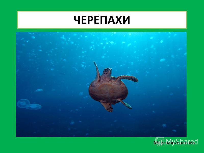 Морская черепаха ЧЕРЕПАХИ