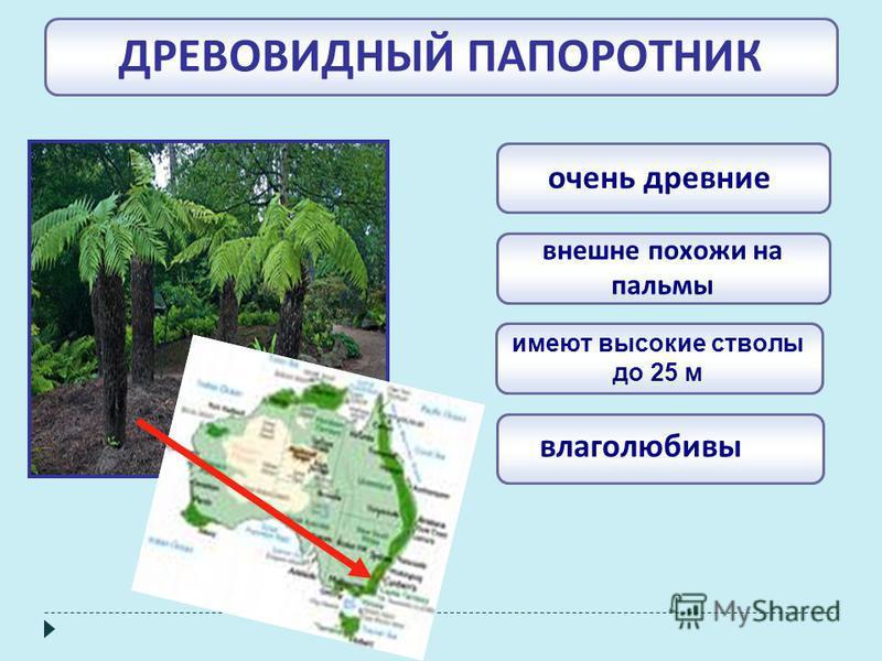 ДРЕВОВИДНЫЙ ПАПОРОТНИК влаголюбивы имеют высокие стволы до 25 м внешне похожи на пальмы очень древние