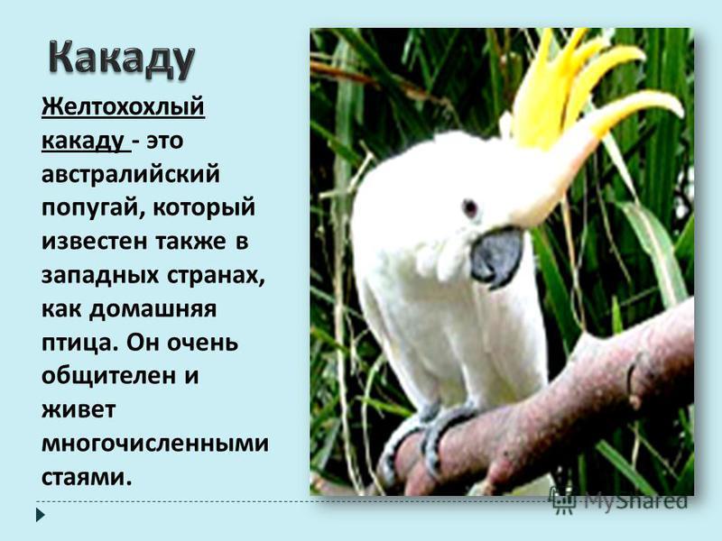 Желтохохлый какаду - это австралийский попугай, который известен также в западных странах, как домашняя птица. Он очень общителен и живет многочисленными стаями.
