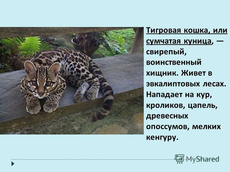 Тигровая кошка, или сумчатая куница, свирепый, воинственный хищник. Живет в эвкалиптовых лесах. Нападает на кур, кроликов, цапель, древесных опоссумов, мелких кенгуру.