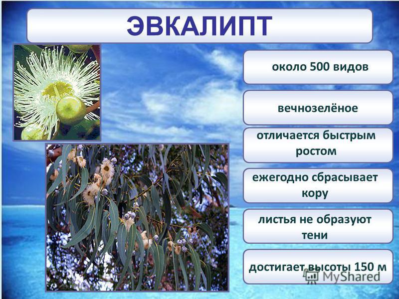 ЭВКАЛИПТ вечнозелёное достигает высоты 150 м около 500 видов ежегодно сбрасывает кору отличается быстрым ростом листья не образуют тени