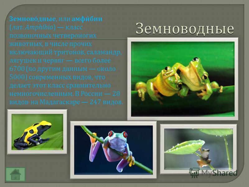Земноводные, или амфибии ( лат. Amphibia) класс позвоночных четвероногих животных, в числе прочих включающий тритонов, саламандр, лягушек и червяг всего более 6700 ( по другим данным около 5000) современных выдов, что делает этот класс сравнительно н